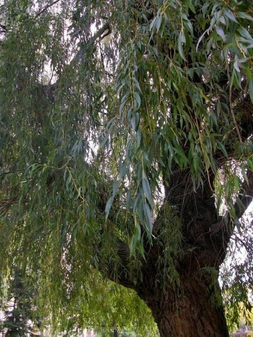 Дървото, което пази спомени, мечти и тайни